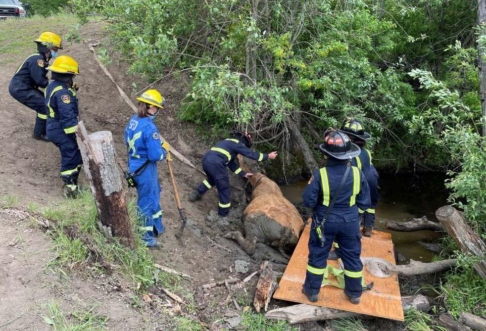 County of Grande Prairie Facebook - cow rescue (2)